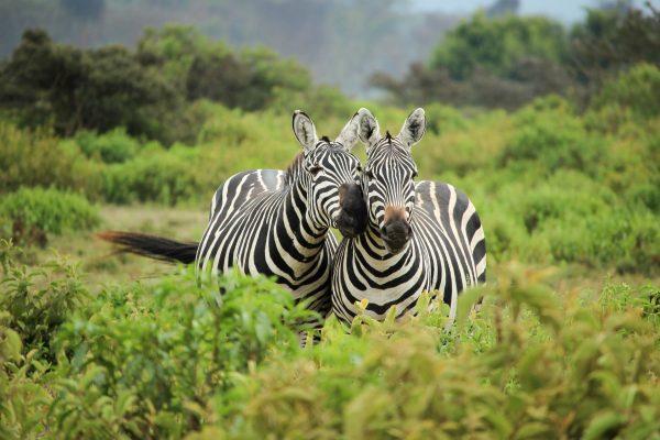 Кенія зебри