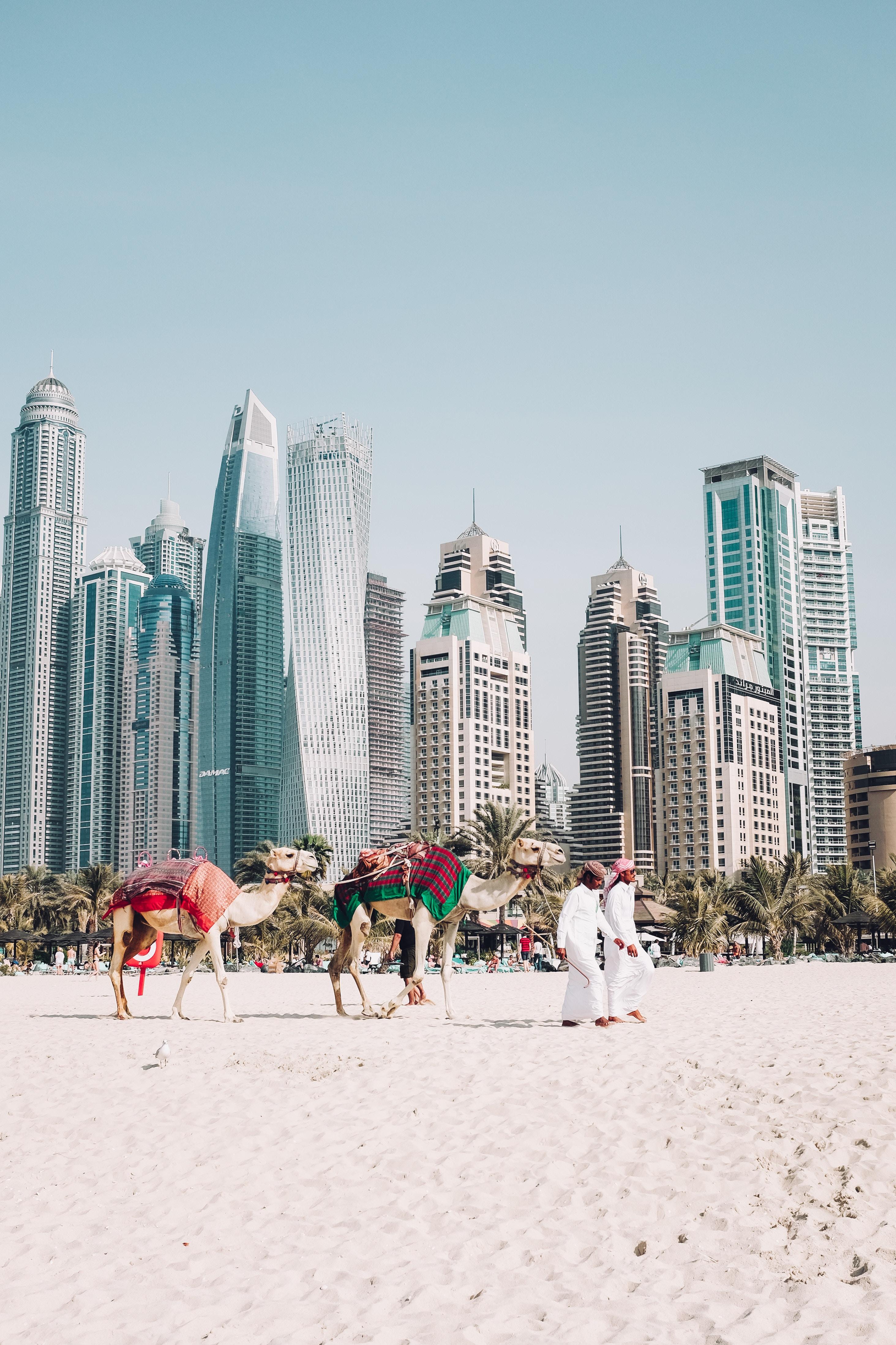 Дубаї верблюди і місто