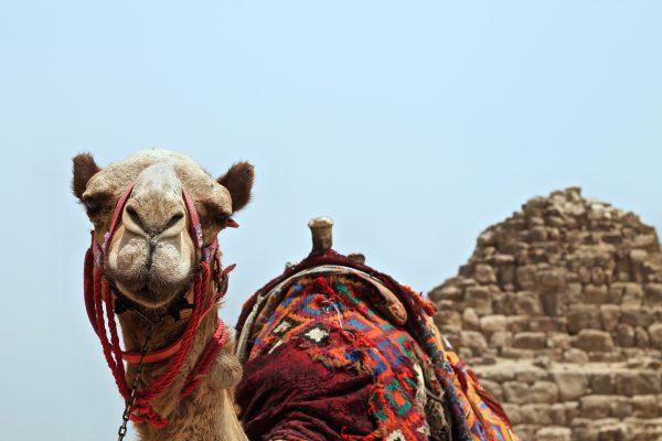 Єгипет верблюд