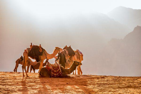 верблюди в Йорданії