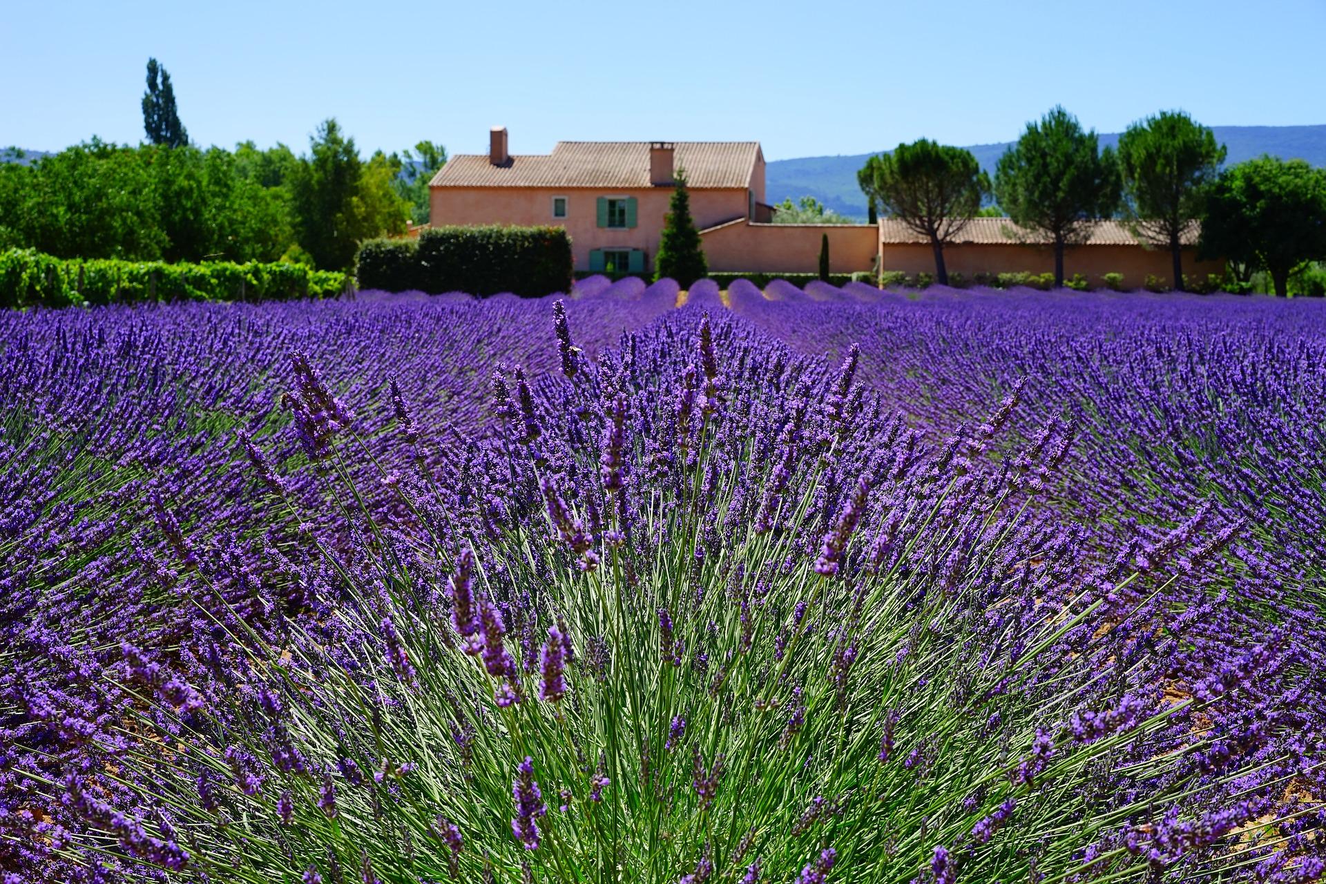 Франція Прованс лавандове поле