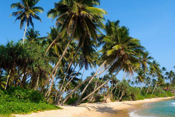 Шрі-Ланка пальми