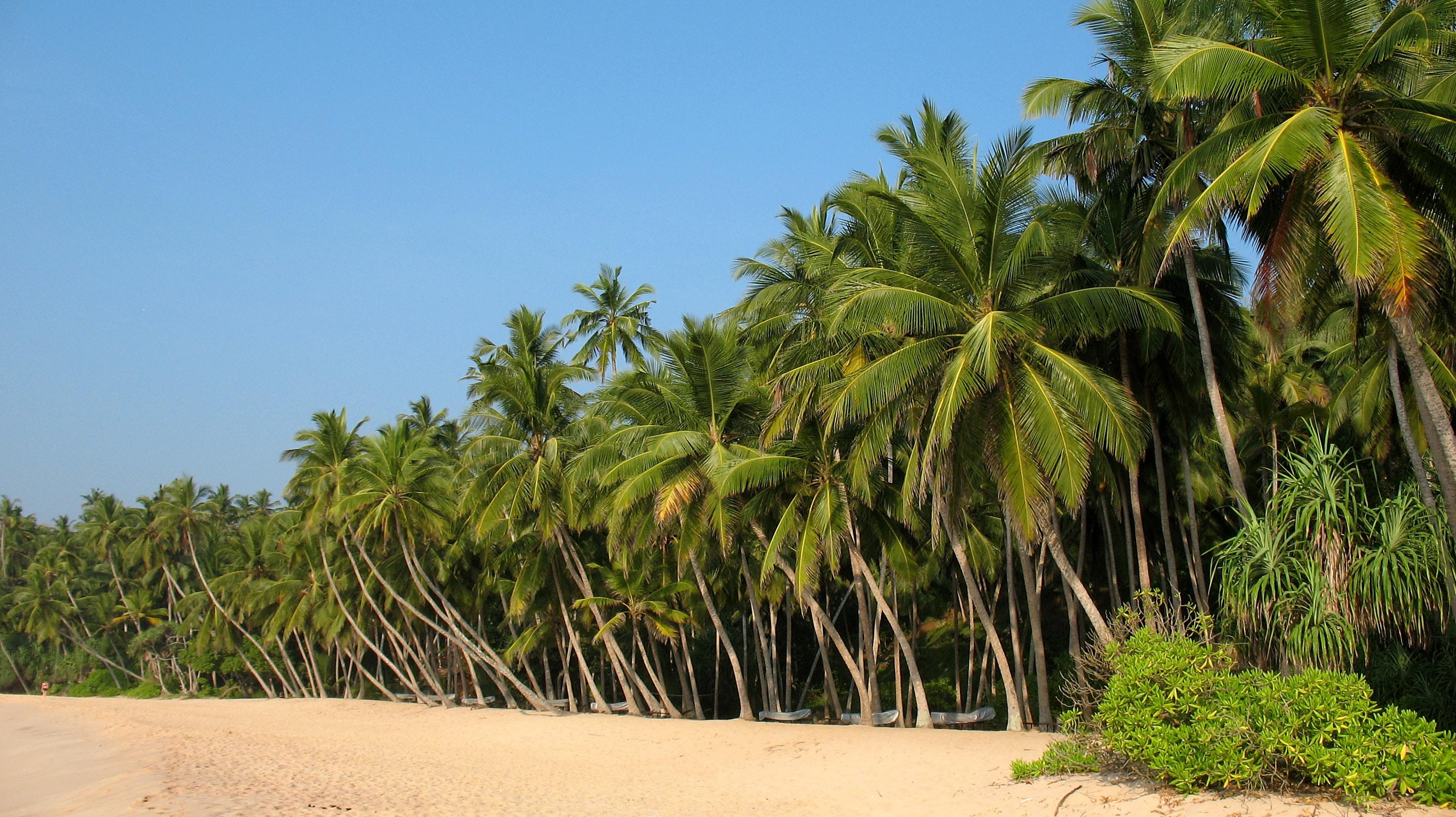 шрі ланка пляж з кокосовими деревами