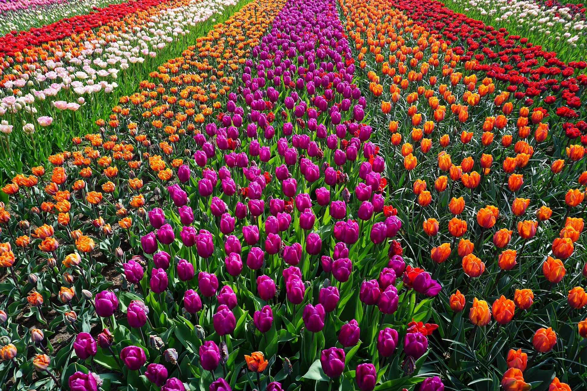 Голландія тюльпани