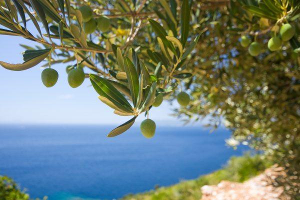 Греція оливкове дерево
