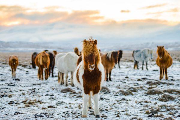 ісландія поні