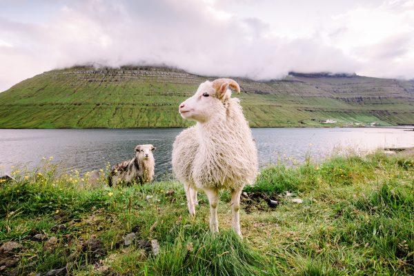 фарери кози