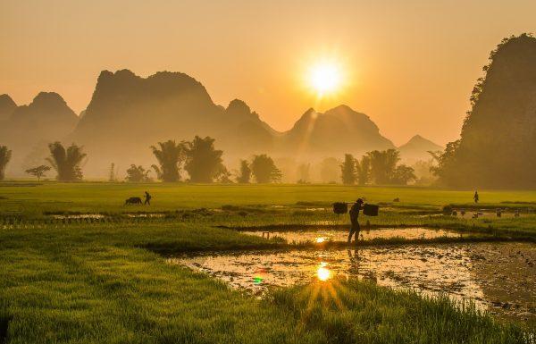 В'єтнам рисові поля