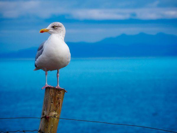море чайка
