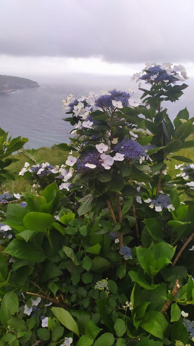 чайні плантації на азорах