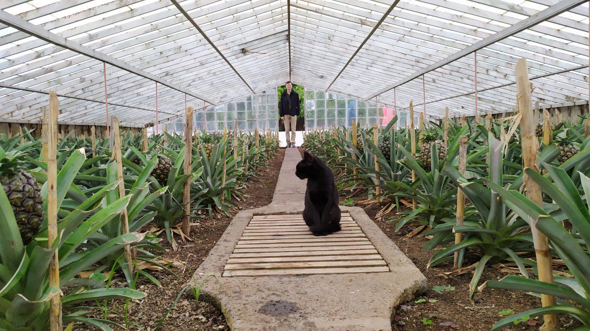 ананасові плантації на азорах