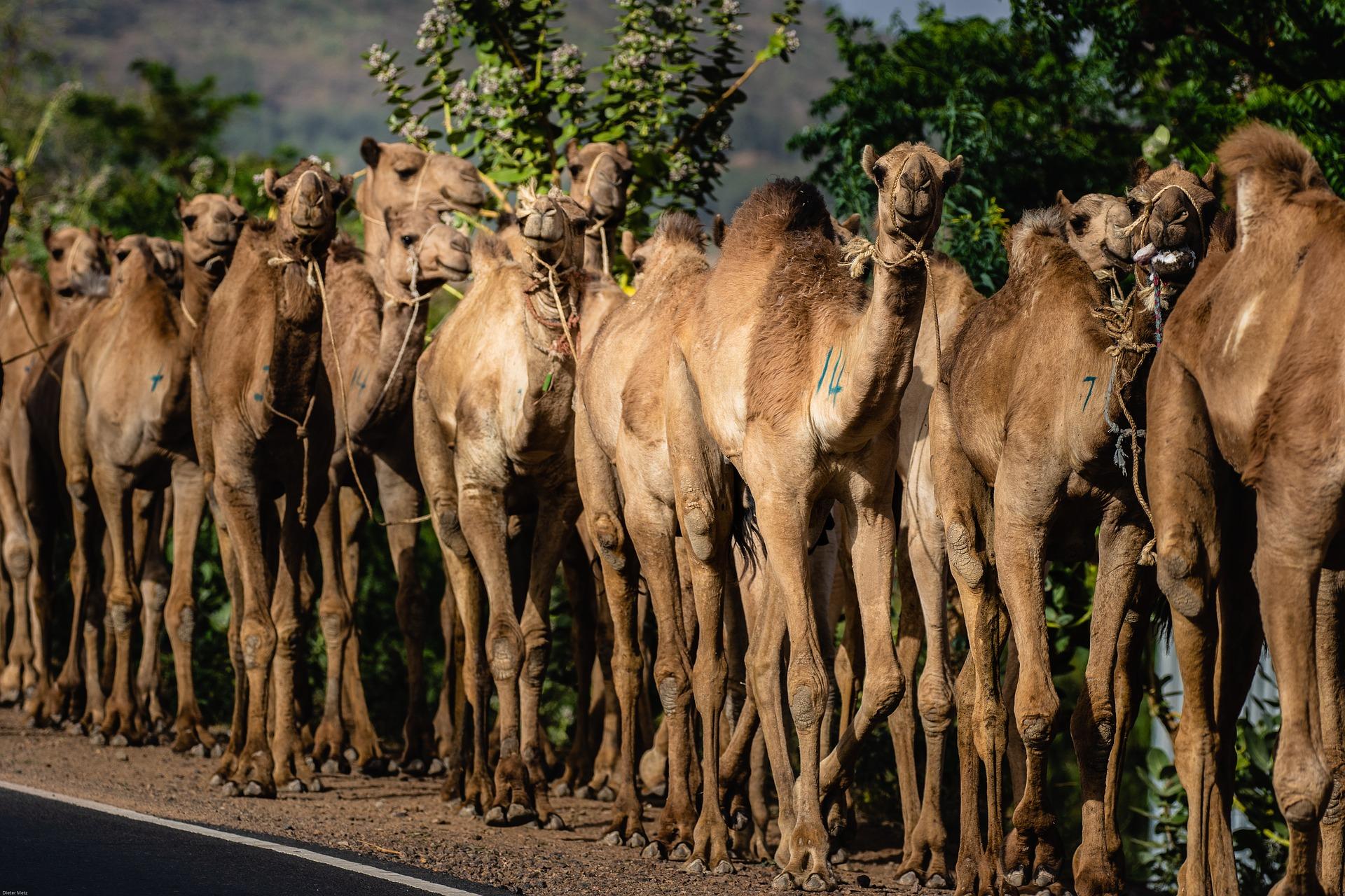 ефіопія верблюди