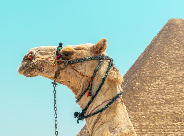Єгипет піраміди верблюд