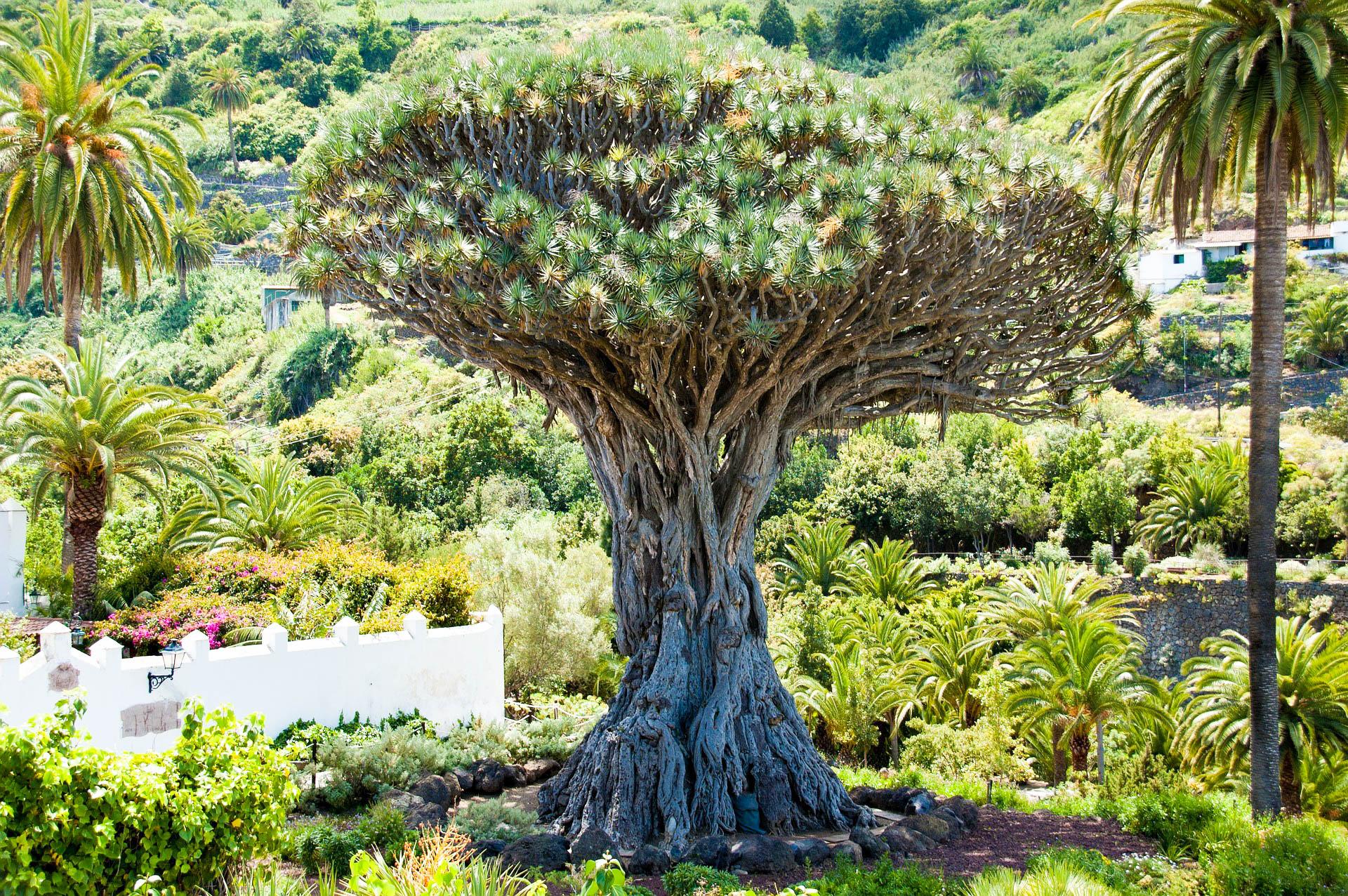 Іспанія Тенеріфе Драконове дерево