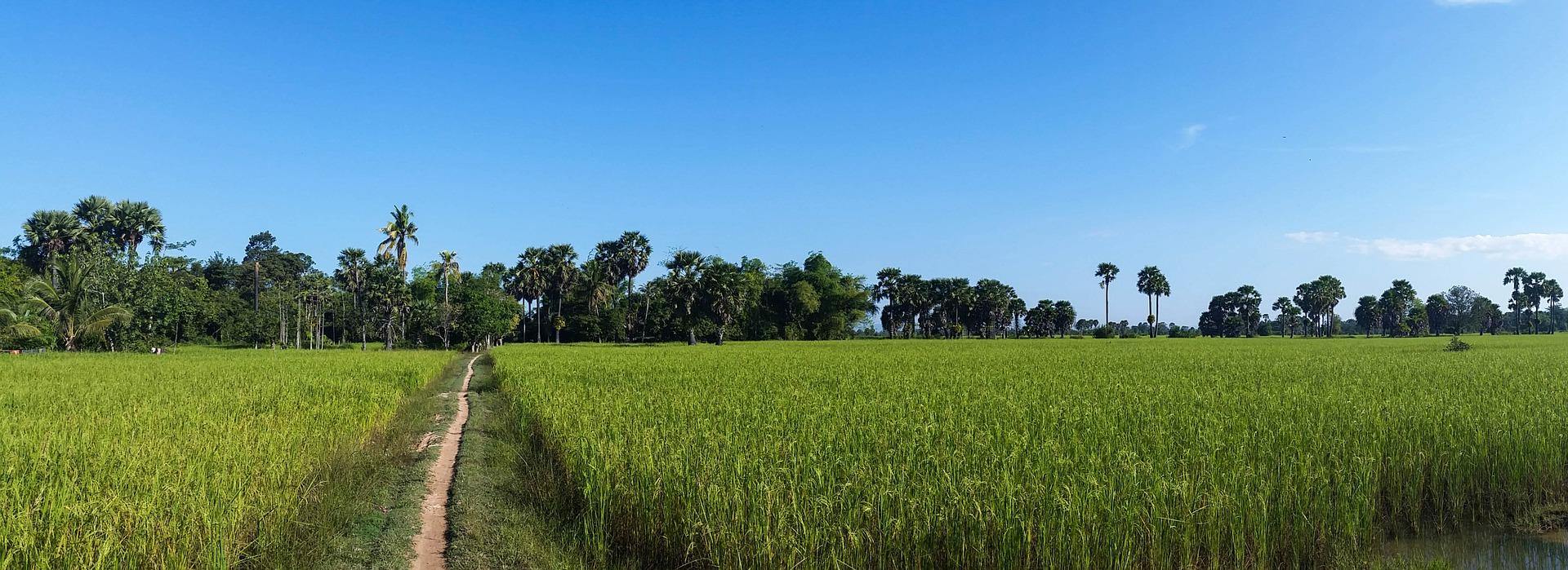 Камбоджа рисові поля