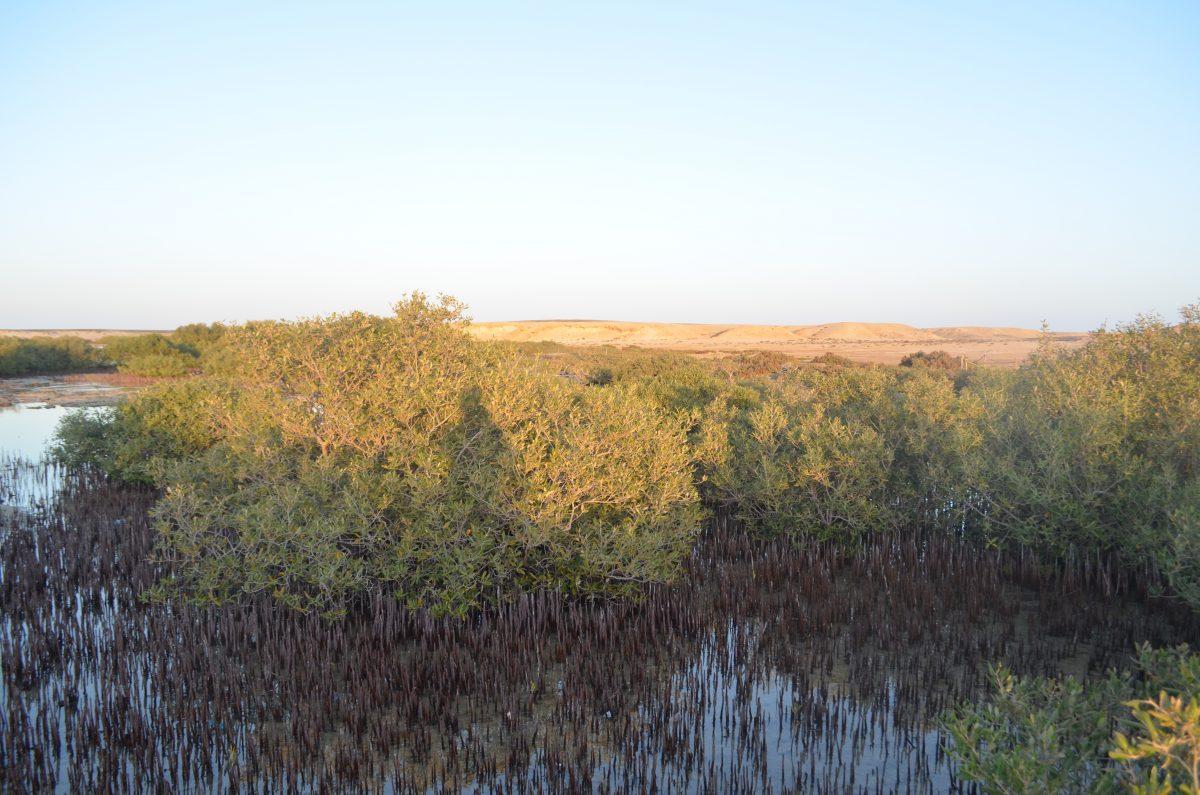 Мангрові ліси. Червоне море, Єгипет.