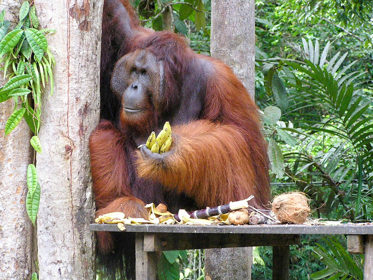 Малайзія Борнео Кучинг